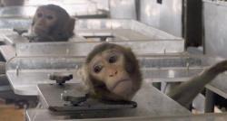 Lors d'un test sur la nocivité des gaz d'échappement d'un de ses modèles diesel, Volkswagen a exposé des singes aux émanations
